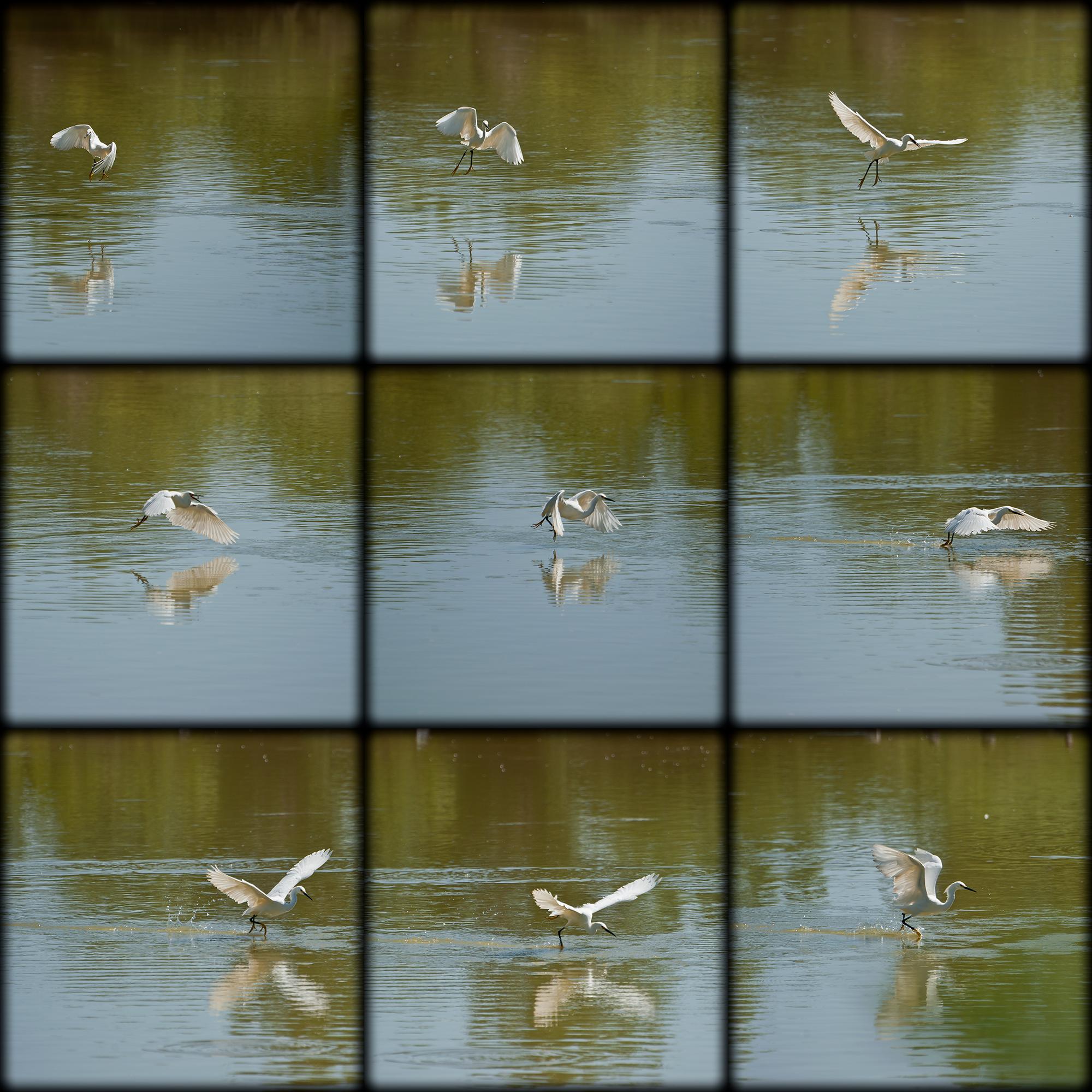 Snowy Egret Series